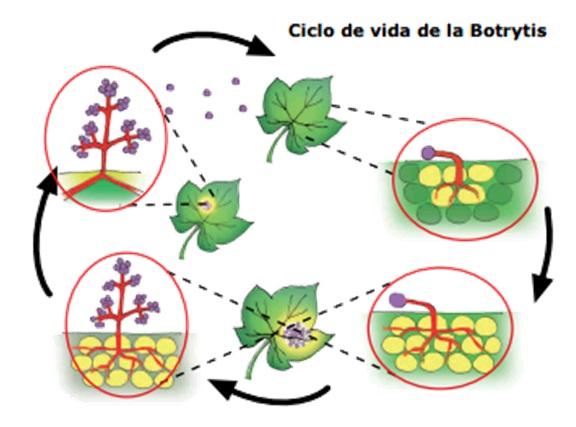 Ciclo botrytis