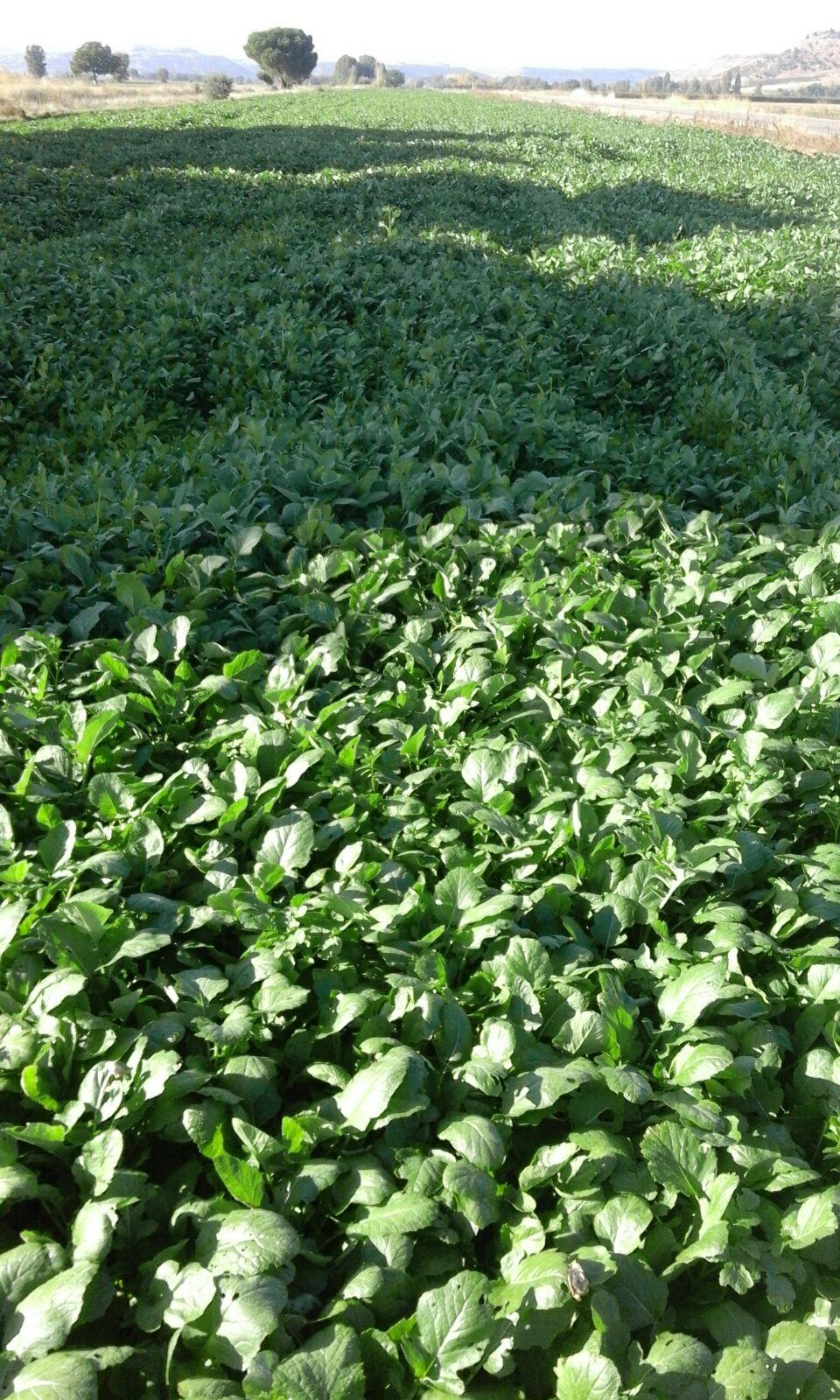 Planta de mostaza en Peñafiel