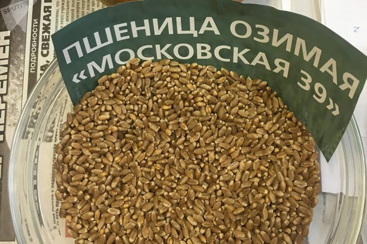 El trigo de Rusia resistente al frío.
