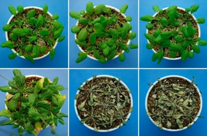 Descubren hormona que ayuda a evitar la deshidratación en plantas